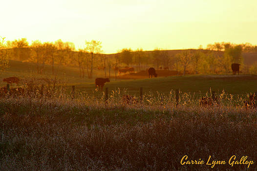 Grazing Cows by Carrie Gallop