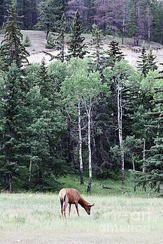 Alyce Taylor - Grazing Elk