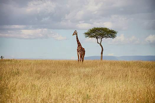 Grazing Giraffe by Balram Panikkaserry
