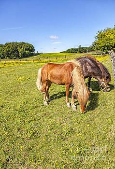 Sophie McAulay - Grazing ponies