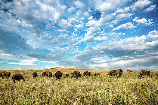 Grazing - Bison Herd Under Blue Sky in Oklahoma by Sean Ramsey