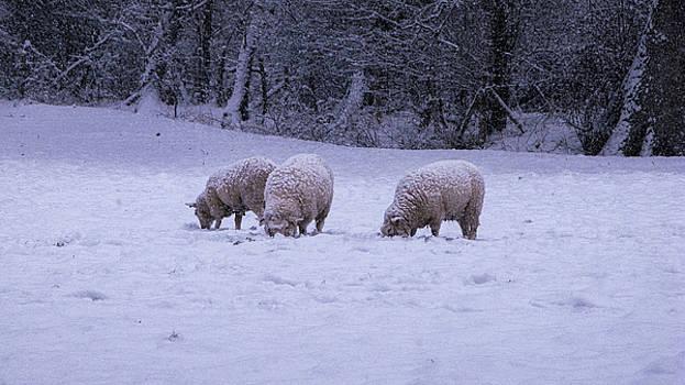 Grazing sheep by Maria Joy