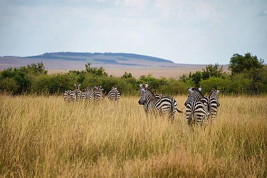 Grazing Zebras by Balram Panikkaserry