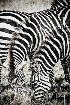 Darcy Michaelchuk - Grazing Zebras Close Up