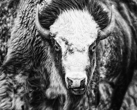 Lisa Russo - Great American Bison in Black and White