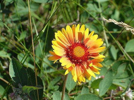 Great Blanket Flower Gaillardia by Mark Lehar