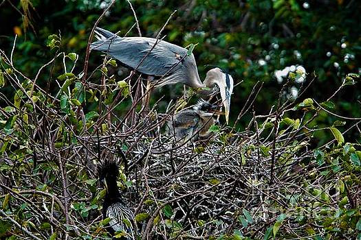 Great Blue And Chick by Chuck Hicks