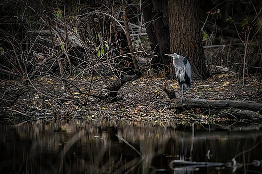 Great Blue At Shore by Ray Congrove