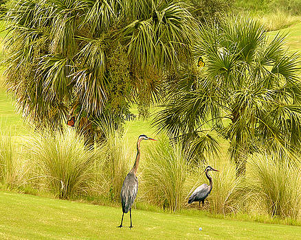 Great Blue Golfing by Adele Moscaritolo