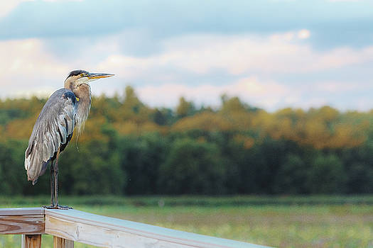 Sylvia J Zarco - Great Blue Great View Great Meadows