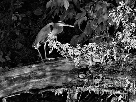 Great Blue Heron             St. Joseph River      November      Indiana by Rory Cubel
