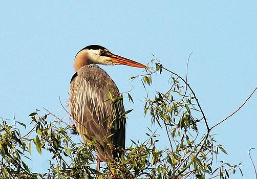 Great Blue Heron 2 by Bethany Benike