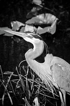 Jonathan Hansen - Great Blue Heron 2