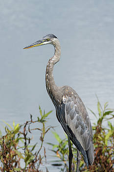 Great Blue Heron #2 by Paul Rebmann