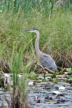 Great Blue Heron 6056 by Michael Peychich