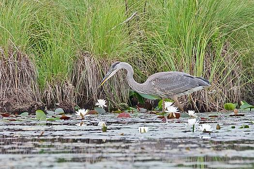 Great Blue Heron 6140 by Michael Peychich