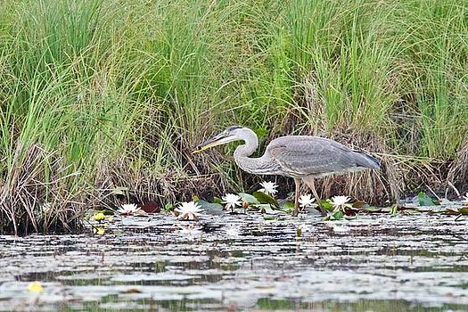 Great Blue Heron 6180 by Michael Peychich