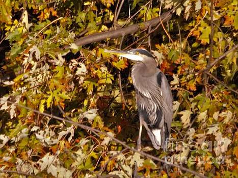 Great Blue Heron Among Autumn Leaves            November            Indiana by Rory Cubel