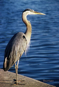 Great Blue Heron At Put-in-Bay by Terri Harper