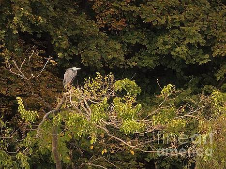 Great Blue Heron At Riverside         October         Indiana by Rory Cubel