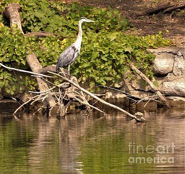 Great Blue Heron At Riverside           September           Indiana by Rory Cubel