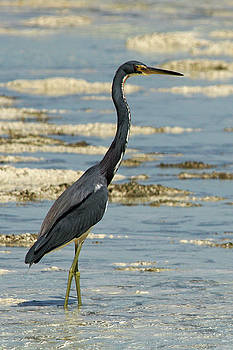 Great Blue Heron by Brandy Herren