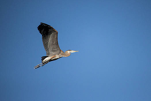 Great Blue Heron by Celena Sandaker