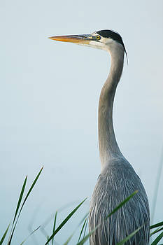 Great Blue Heron by Chad Myers