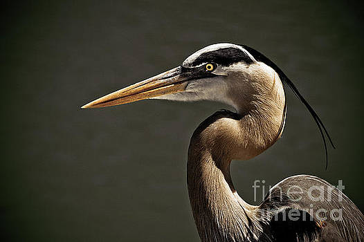 Great Blue Heron Close Up Portrait by Stefano Senise