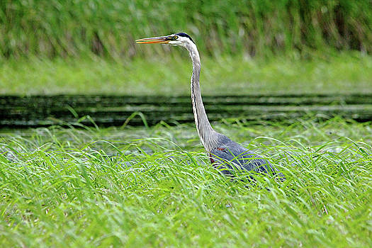 Debbie Oppermann - Great Blue Heron