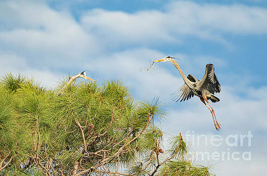 Great Blue Heron Delivering Nest Materials by Edie Ann Mendenhall