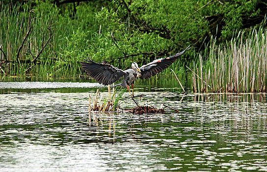 Debbie Oppermann - Great Blue Heron Doing The Happy Dance