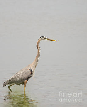 Great Blue Heron Fishing in the Atlantic by Natural Focal Point Photography