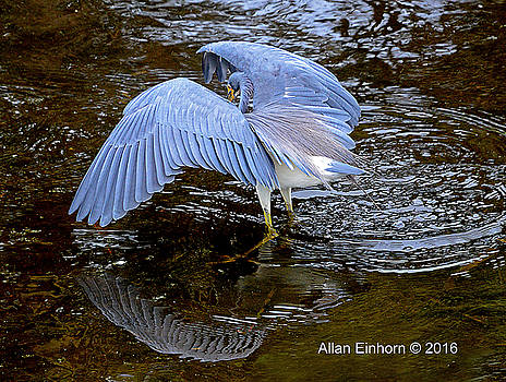Great Blue Heron Flexing by Allan Einhorn