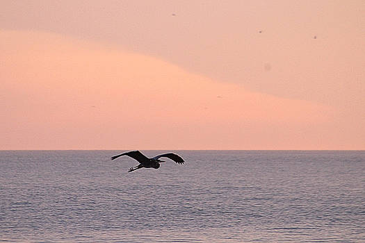 Great Blue Heron Flying Over The Atlantic by Robert Banach