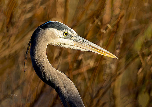 Great Blue Heron Hunting by Fred J Lord
