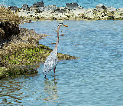 Great Blue Heron In Cove by Brian Wallace