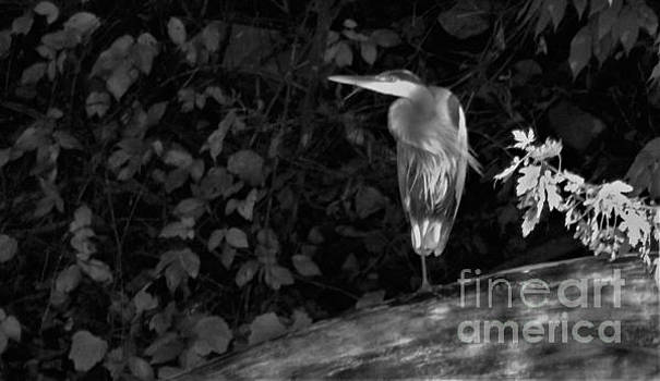 Great Blue Heron In Dappled River Light           Black and White          Indiana      November by Rory Cubel