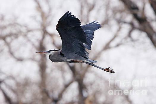 Great Blue Heron in Flight by Alyce Taylor