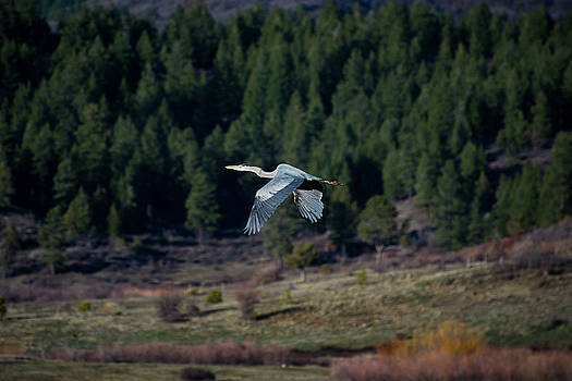 Great Blue Heron in Flight by Jason Coward