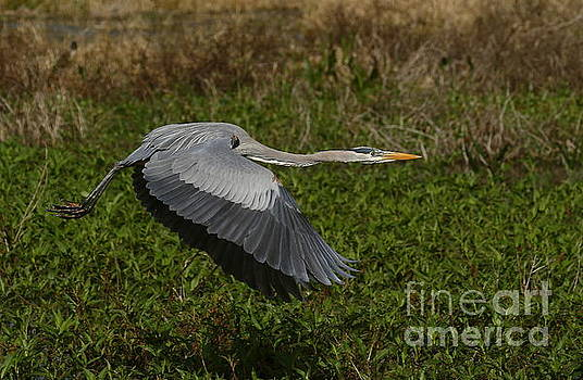 Great Blue Heron in flight by Myrna Bradshaw