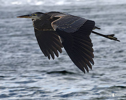 Great Blue Heron in Flight by Stephanie McGuire
