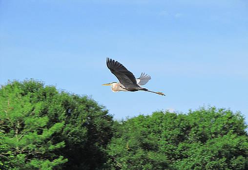 Great Blue Heron in Flight by Zachary Baty