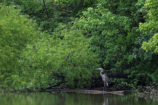Great Blue Heron in Lake 2 by Dan Ferrin