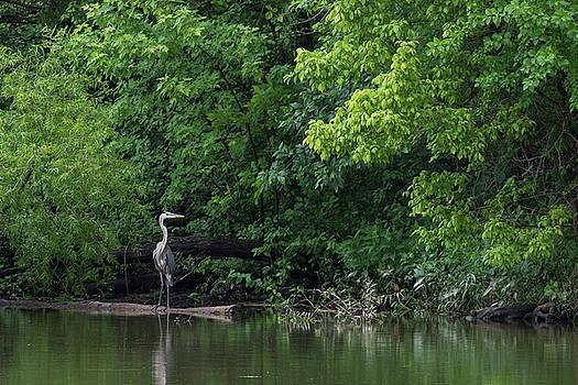 Great Blue Heron in Lake #3 by Dan Ferrin