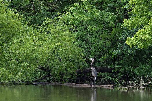 Great Blue Heron in Lake by Dan Ferrin