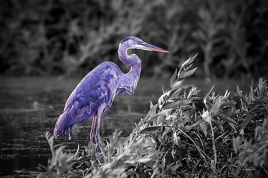 Great Blue Heron In Marsh - Color Select by Brian Wallace