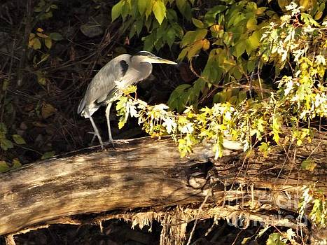 Great Blue Heron In Riverside Trees            November            Indiana by Rory Cubel