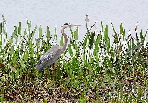 Patricia Twardzik - Great Blue Heron in the Greens