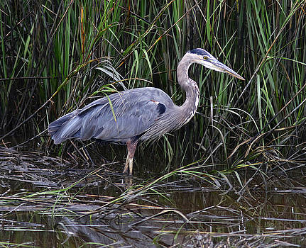 Great Blue Heron in the Reeds by Phil Lanoue